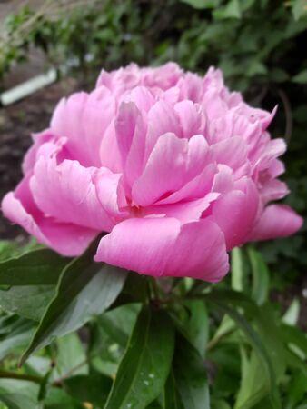 Peonies pink large flowers with water droplets Zdjęcie Seryjne - 150458069