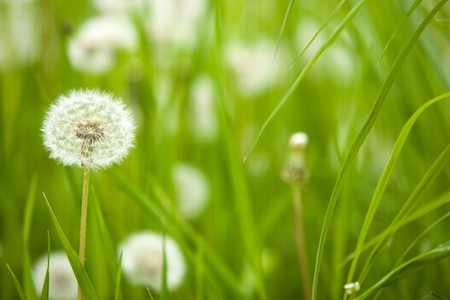 Details of a blow-ball, dandelion in spring season. photo