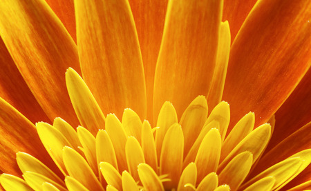 macros: Macro view of yellow petals of Gerber flower, beautiful abstract details.