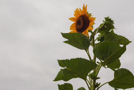 sky brunch: Just one tall sunflower, details of leafs and flower.