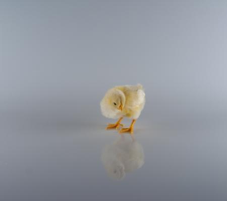 babby: Single Chickadee