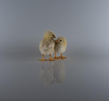 babby: Two Chickadees Stock Photo