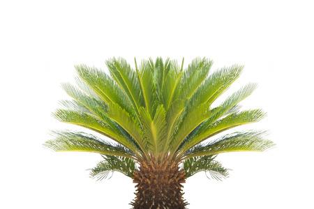 cycas: Cycas revoluta  on a white background. Stock Photo