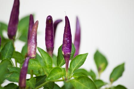 bush pepper: Purple chili peppers Stock Photo