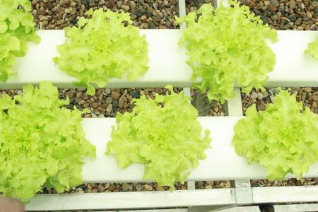 nutrientes: Los nutrientes vegetales hidrop�nicos