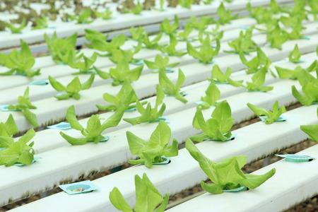 nutrients: Los nutrientes vegetales hidrop�nicos