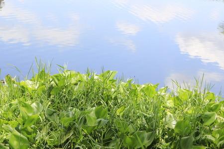 hyacinth: Water Hyacinth