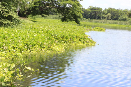 water plants: Water Hyacinth