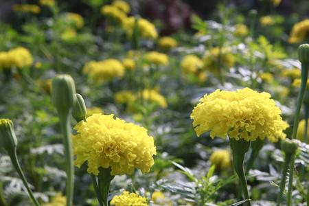 marigold: Marigold