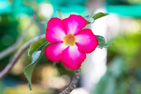 asterids: Pink Desert flower, adenium obesum,impala lily flower. Stock Photo
