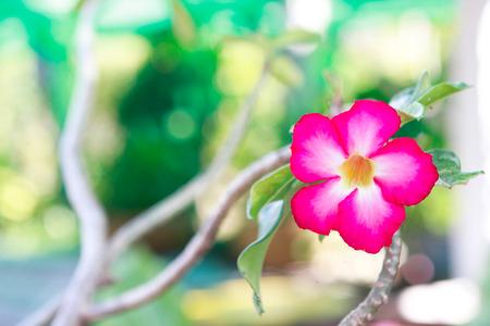asterids: Romantic,Pink Desert flower, adenium obesum,impala lily flower.