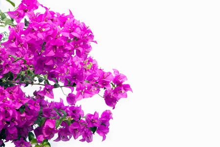 bougainvilleas: Pink bougainvilleas isolated on white background. Stock Photo