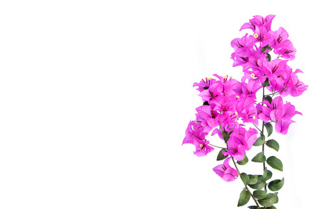 bougainvillea flowers: Pink bougainvilleas isolated on white background. Stock Photo
