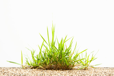 clump: Clump of grass on floor isolated on white background. Stock Photo
