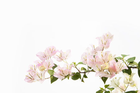 bougainvilleas: bougainvilleas isolated on white background. Stock Photo