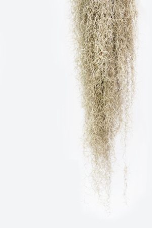 threadlike: Spanish moss isolate on white background.