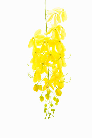 fistula: yellow Golden shower ,Cassia fistula flower isolate on white background