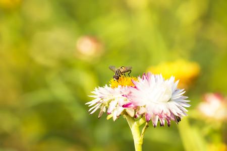 hover: Hover flies on paper daisy flower.