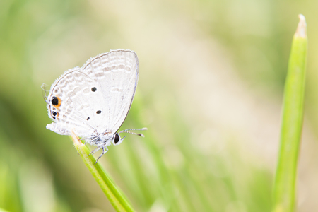 glister: Holly blue in spring. Stock Photo