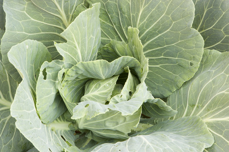 cabbage patch: Cabbage. Stock Photo