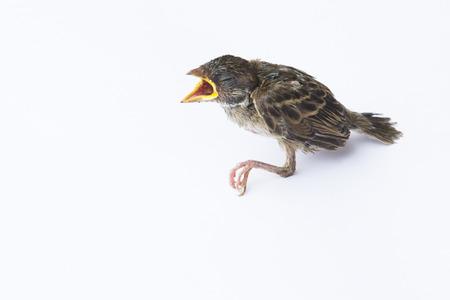 flapper: aleta, pájaro joven enferma en el fondo blanco. Foto de archivo