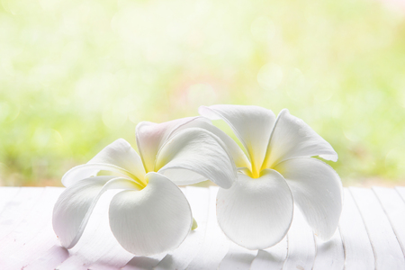 glister: white , pink and yellow Plumeria spp. (frangipani flowers, Frangipani, Pagoda tree or Temple tree) on natural light background. Stock Photo