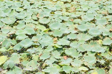 ecosistema: Hoja de loto en el ecosistema.