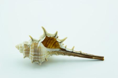 Spine Murex trapa on white background.