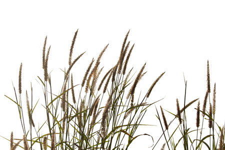 comfortableness: Grass flower isolate on white background.