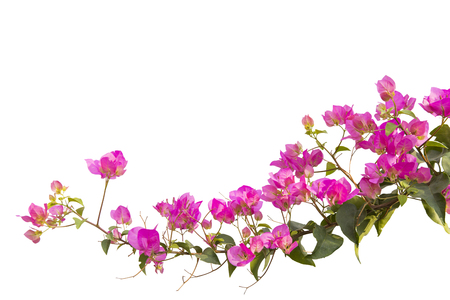 bougainvilleas isolated on white background. Zdjęcie Seryjne
