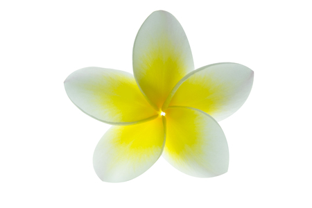 subtropical plants: Frangipani flower or plumeria isolated on white . Clipping path. Stock Photo