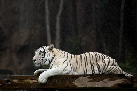 White Bengal tiger in the rain. Stock Photo