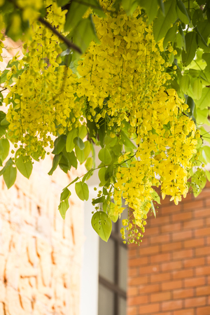Golden shower flower,cassia  fistula. Stock Photo