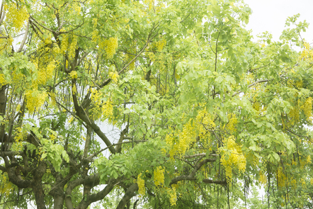 Golden shower flower,cassia  fistula. Фото со стока