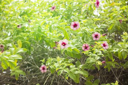 Allamanda Cathartica Flower.