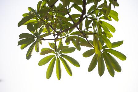 Branch on white background. Devil tree. Stock Photo