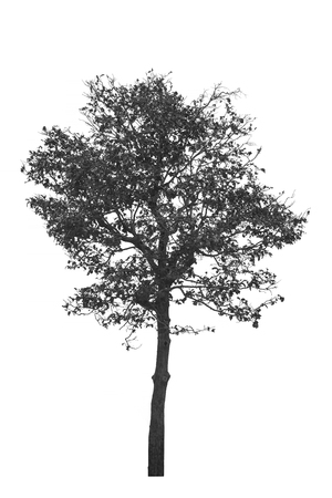 Dead tree or dried tree isolate on white background.