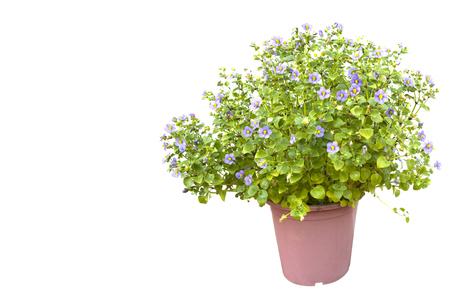 Persian Violet flower (Exacum affine) on white background.Regal Persian Violet. 版權商用圖片