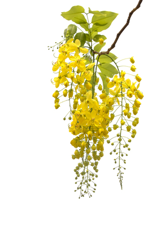 Golden shower flower,cassia  fistula isolate on white. 版權商用圖片