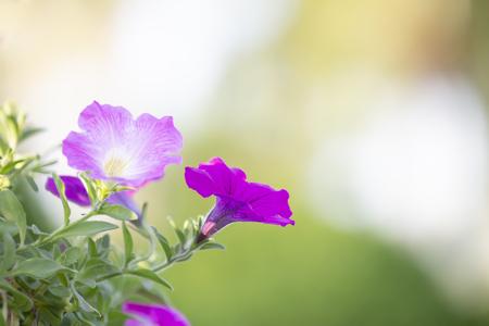 Petunia in garden with blurred background. Standard-Bild