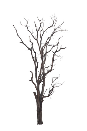 Dead tree with dry scene isolate on white background. Clipping path.