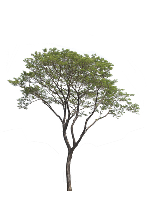 Rain tree with electric wire and road isolated on white . . Stock Photo