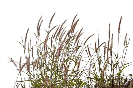Grass isolated on white background Banco de Imagens