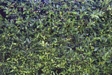 Spring hedge or green leaves wall  background. Stockfoto