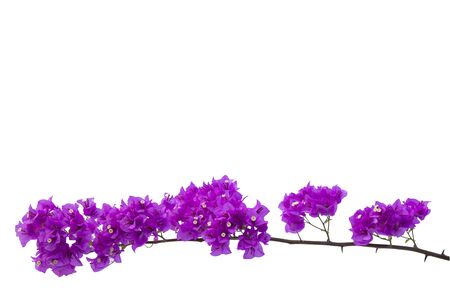 Bougainvilleas isolated on white background. Paper flower .