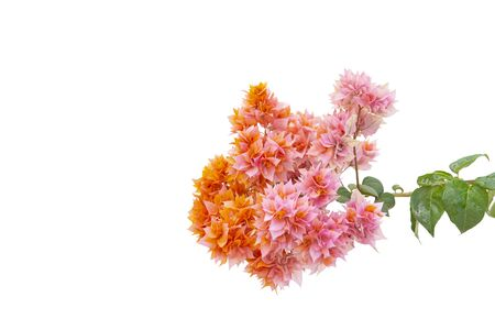 Bougainvilleas branch isolated on white background. Paper flower