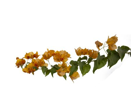 Bougainvilleas branch isolated on white background. Фото со стока