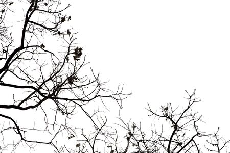 Dead branches, Silhouette dead tree or dry tree on white background