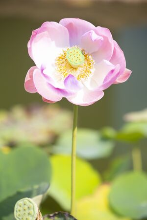 Blooming  lotus flowers, Water Lily are blooming in  morning.
