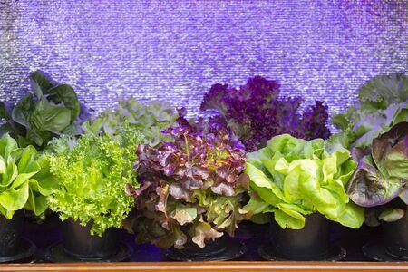 Salad or Lettuce. Home-grown vegetable concept.